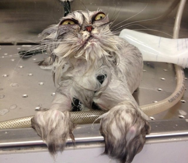 dramatic cat bath