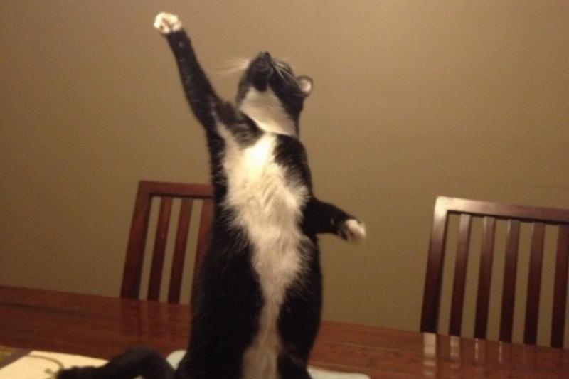 dramatic cat singing