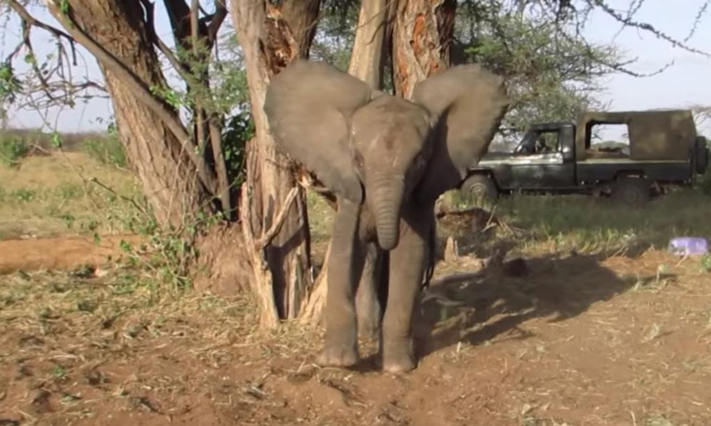 abandoned-baby-elephant-tied-to-tree-57918