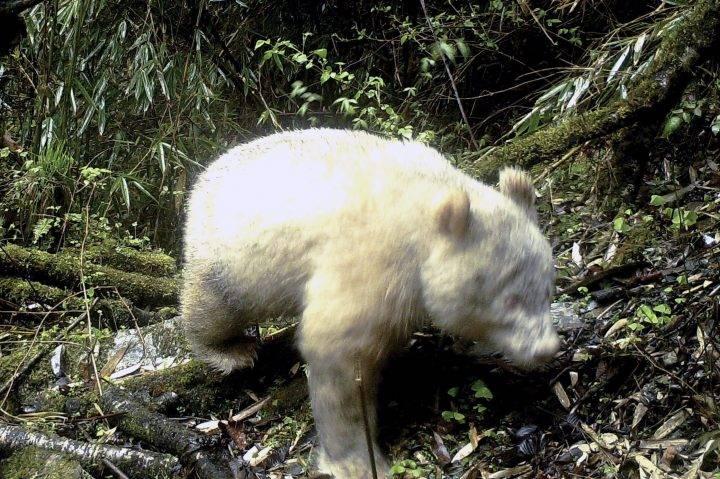 Albino Panda at Wolong National Nature Reserve