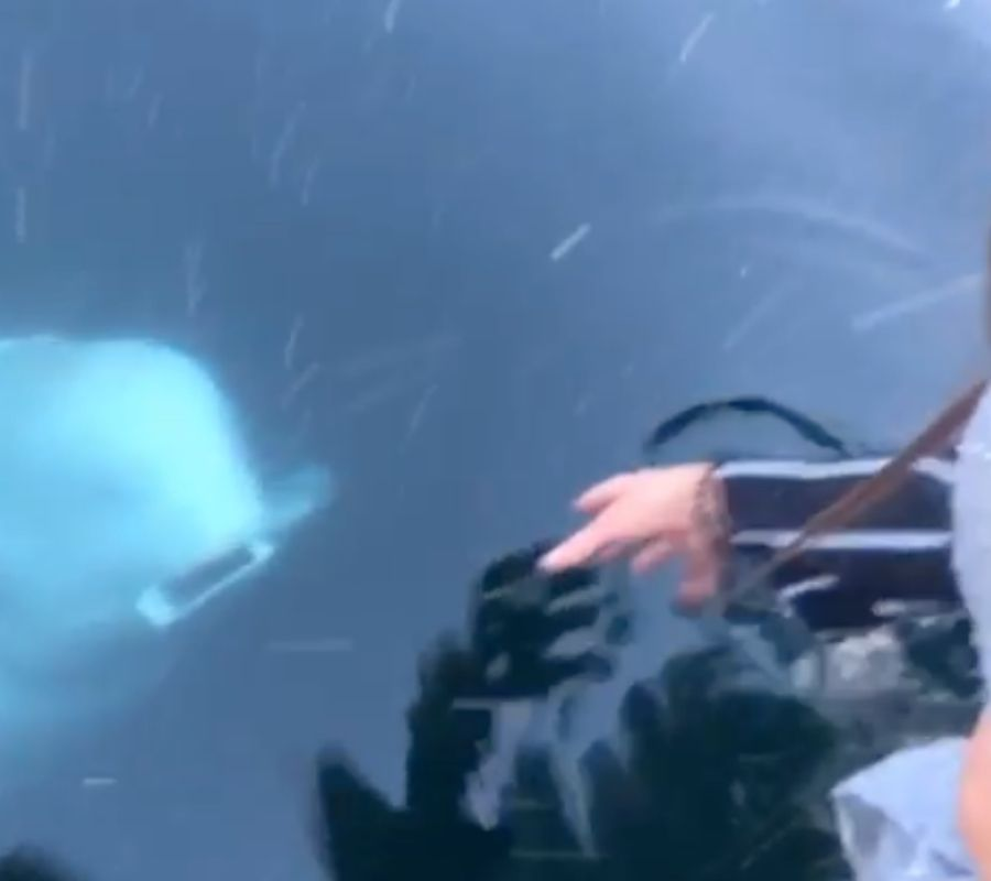 beluga whale swimming with phone