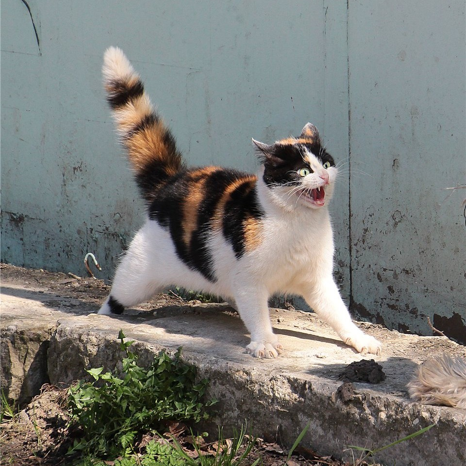 dramatic cat ready to fight