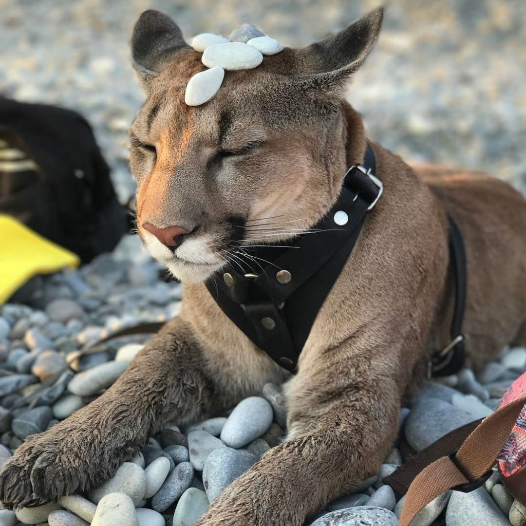 puma housecat with rocks balanced on head