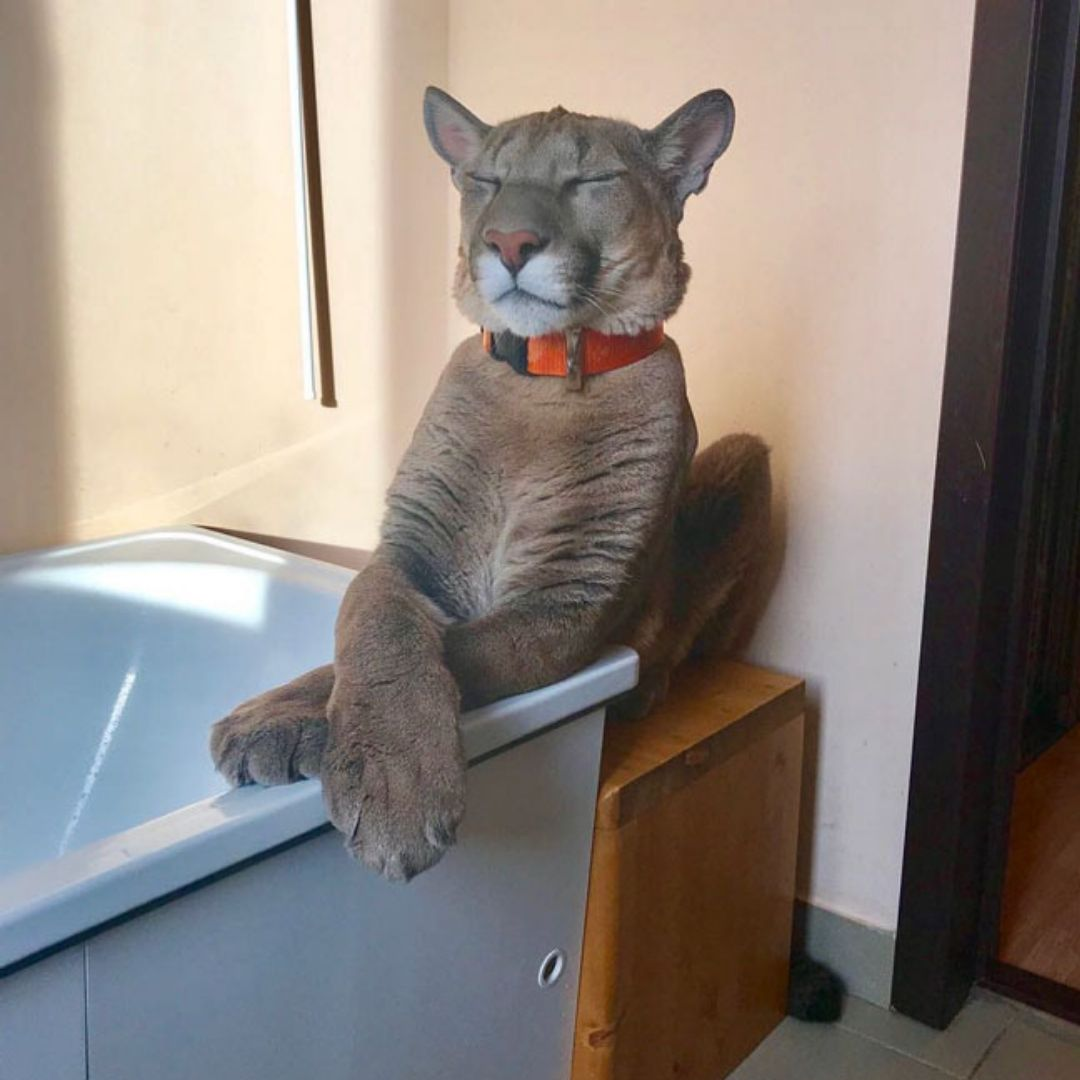 puma housecat with paws crossed on bathtub