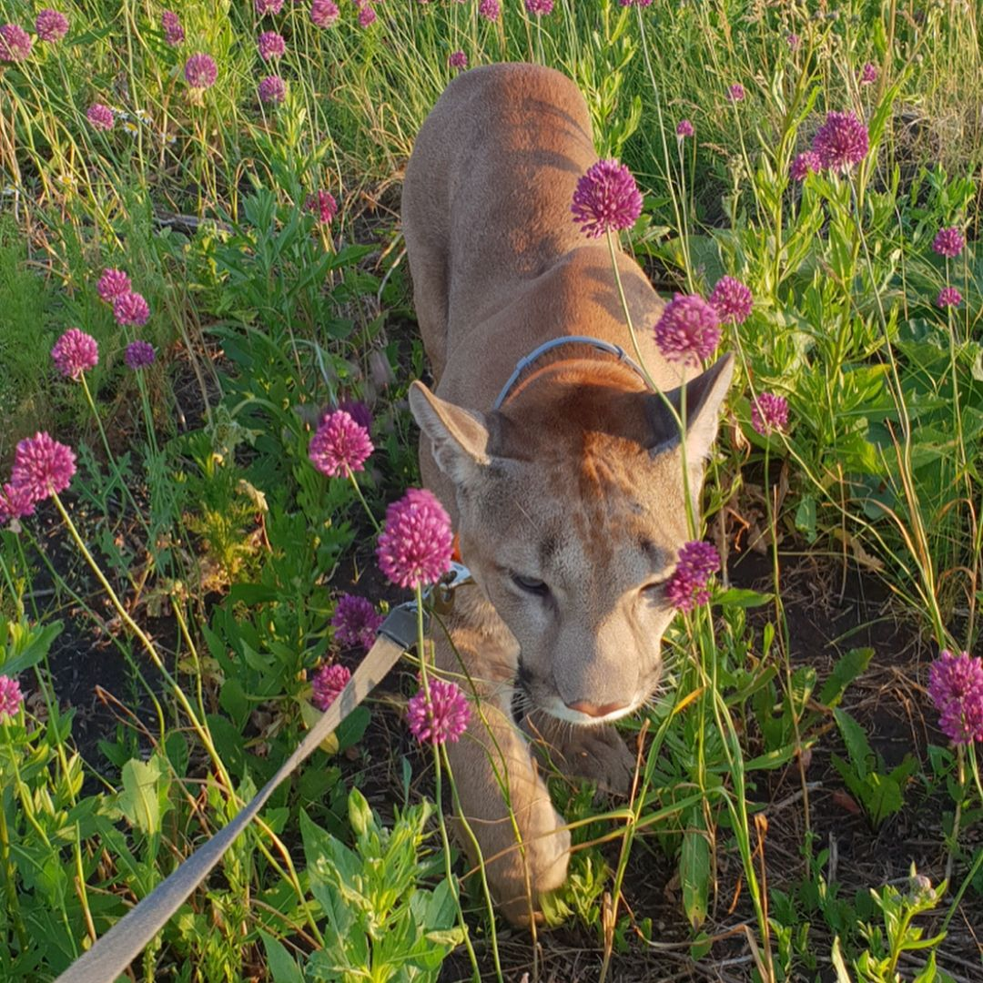 puma housecat walks through flower field in russia