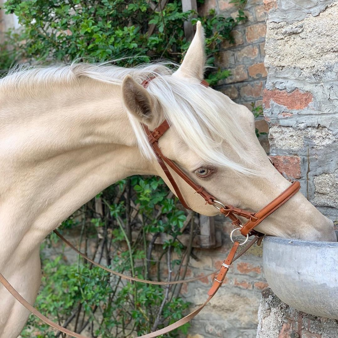 champagne horse taking a drink of water
