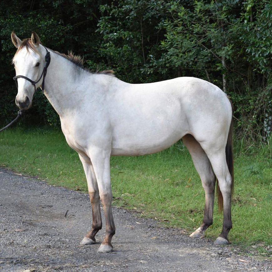 silver buckskin horse with a rein