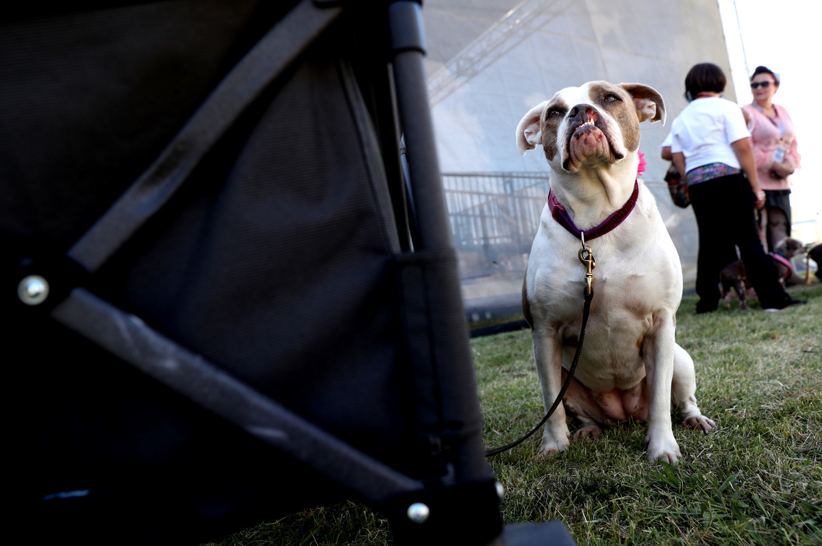 Annual Ugliest Dog Competition Held In Petaluma, California
