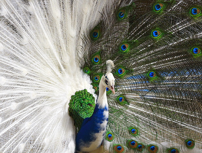 white and blue peacock looking
