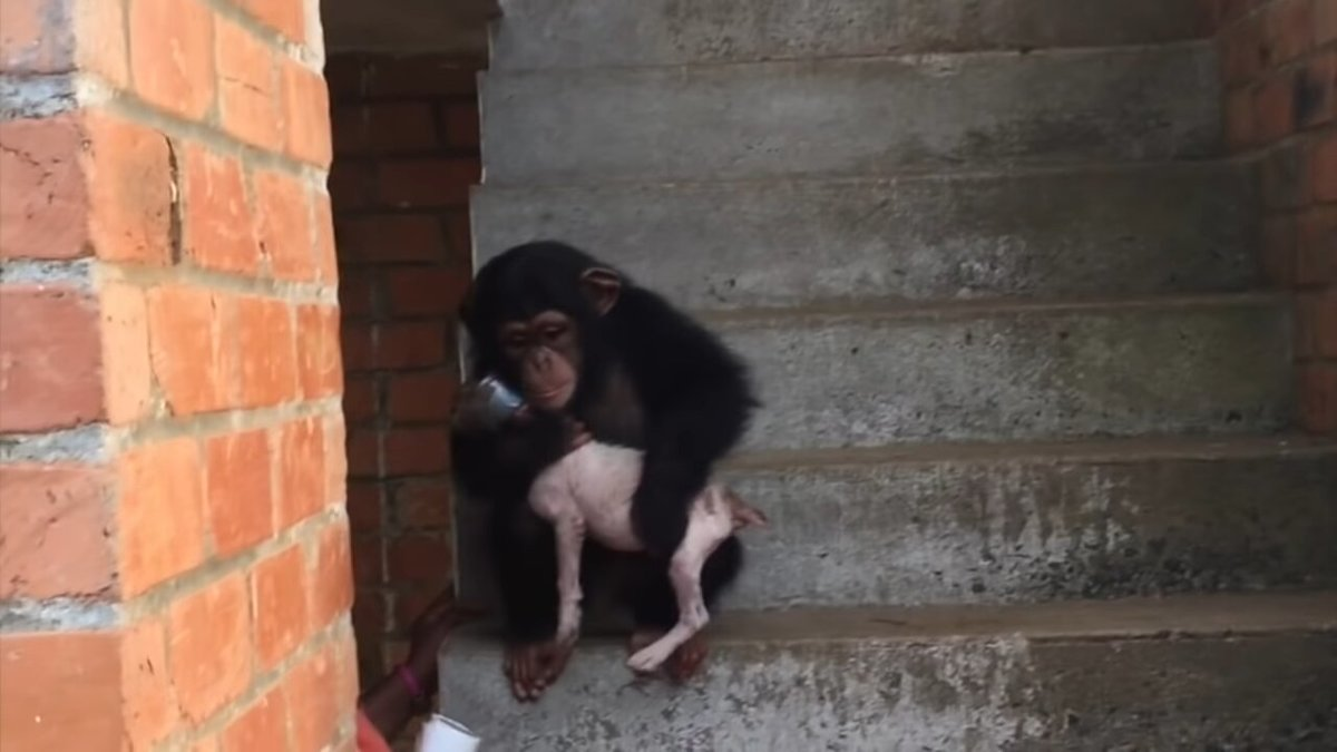 snafu being held by rescued chimps at the sanctuary.