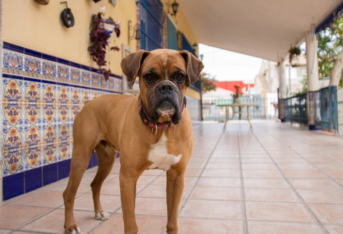a boxer poses for the camera.