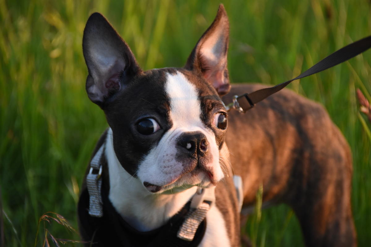 a boston terrier on a leash.