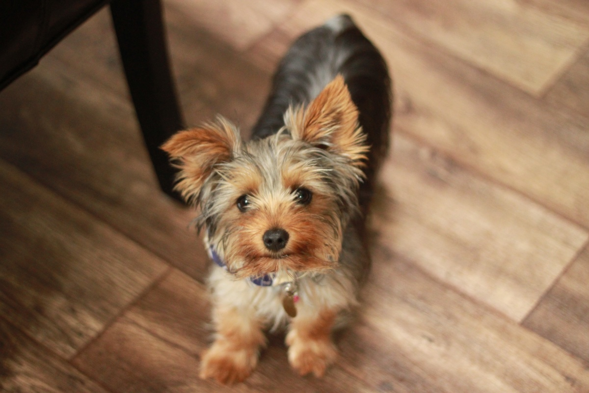 a yorkshire terrier looks at its owner.