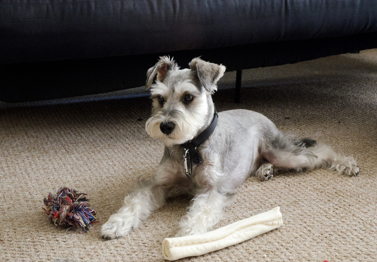 a miniature schnauzer and his toys