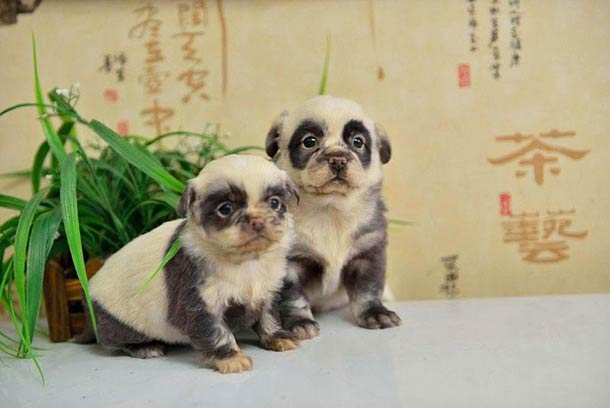 chinese panda dogs