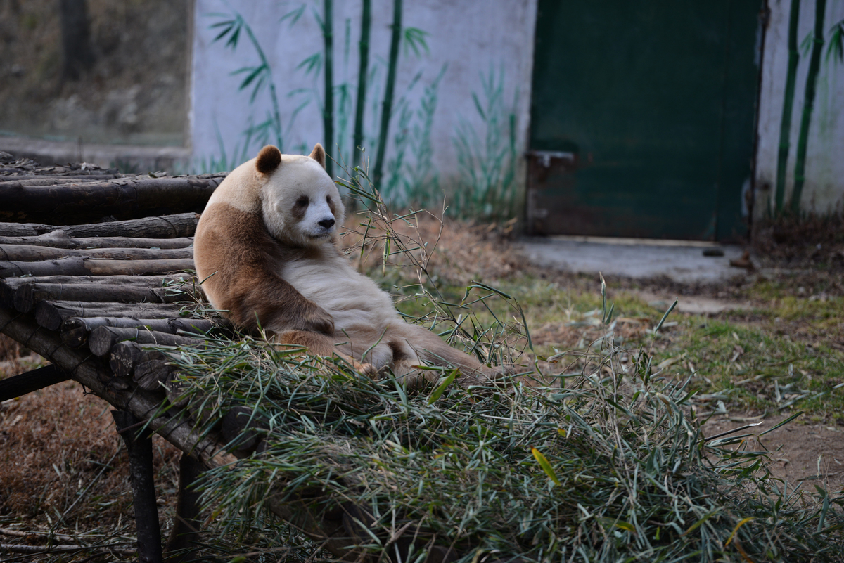 Brown Giant Panda Qizai In Hanzhong