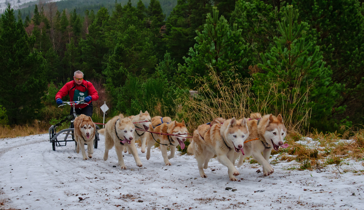 siberian huskies racing in the Aviemore Husky Rally.