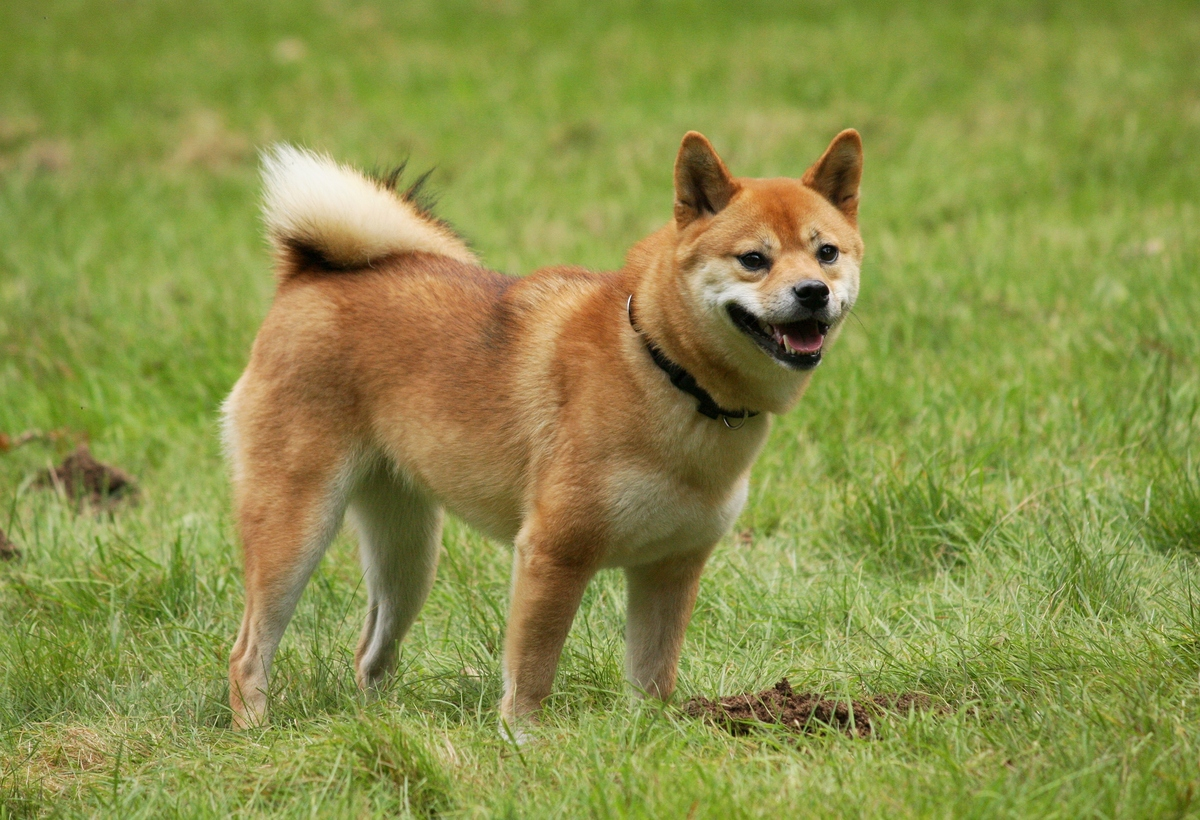 a shiba inu in the grass.