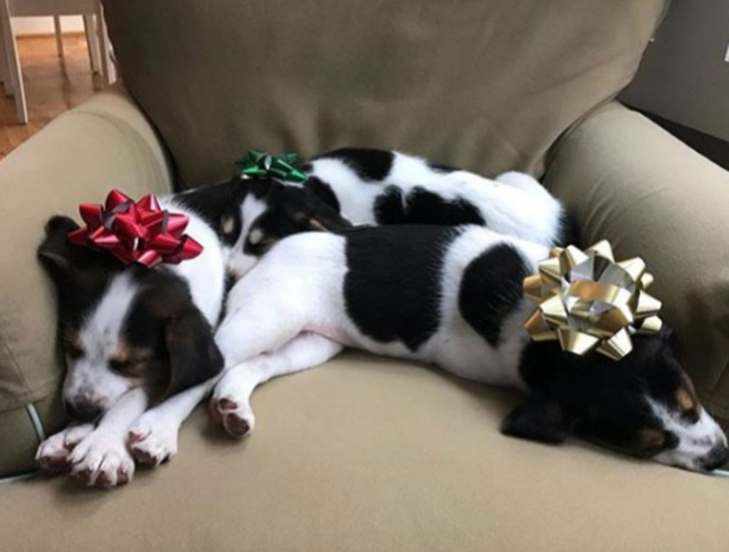 Cow puppies celebrate christmas