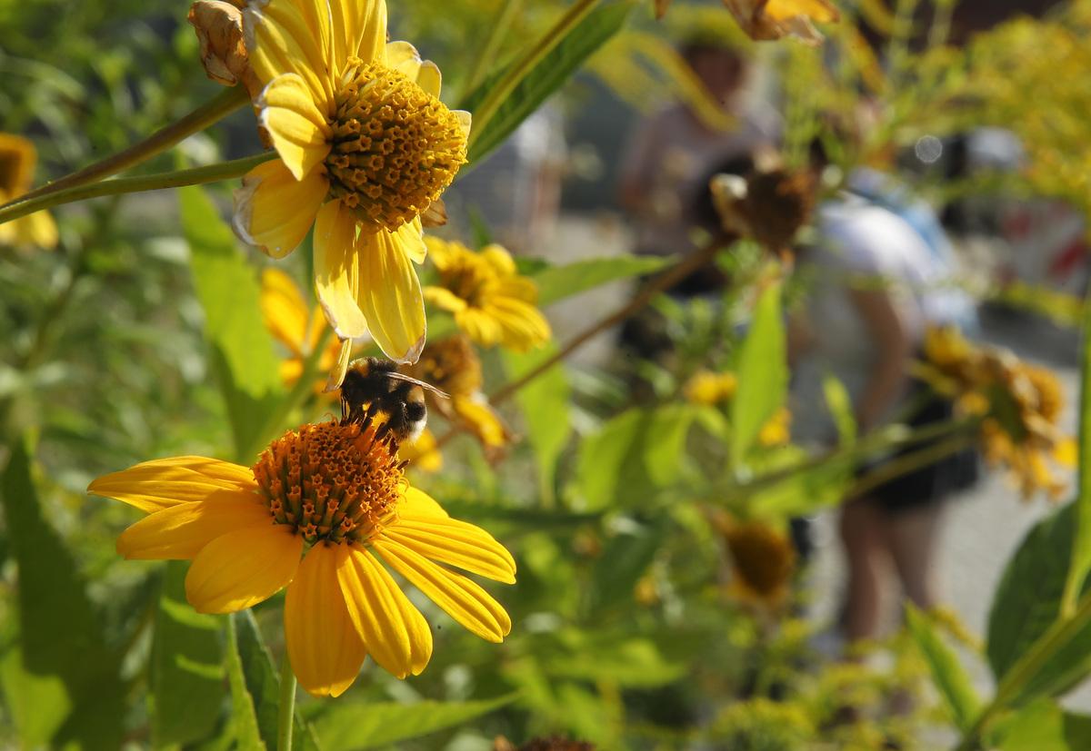 bumblebee on flower in Berlin, Germany