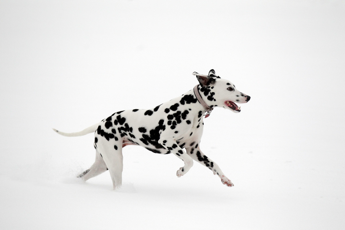 Dodie, a one year old dalmatian, enjoys the snowy conditions in Brockwell Park on December 2, 2010 in London, England.