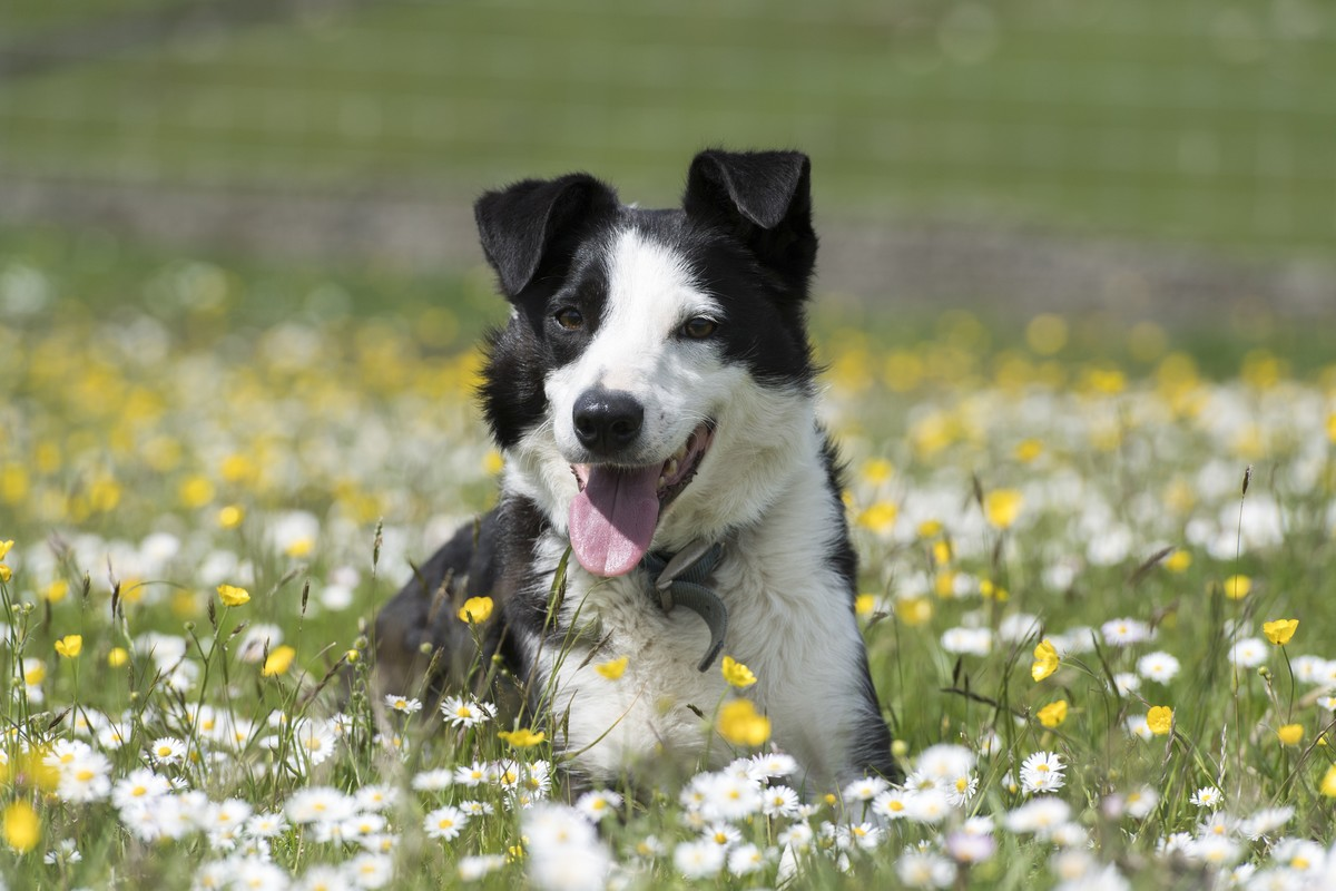 GettyImages-1097815110 border collie laying in a daisy field