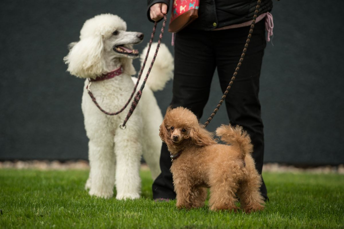 A standard poodle and a toy poodle arrive to attend the first day of the Crufts dog show at the National Exhibition Centre in Birmingham, central England, on March 7, 2019.