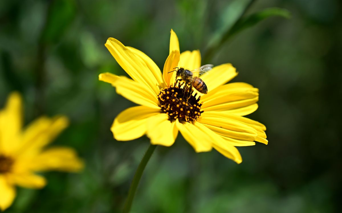 bee pollinating wild sunflower in Cali