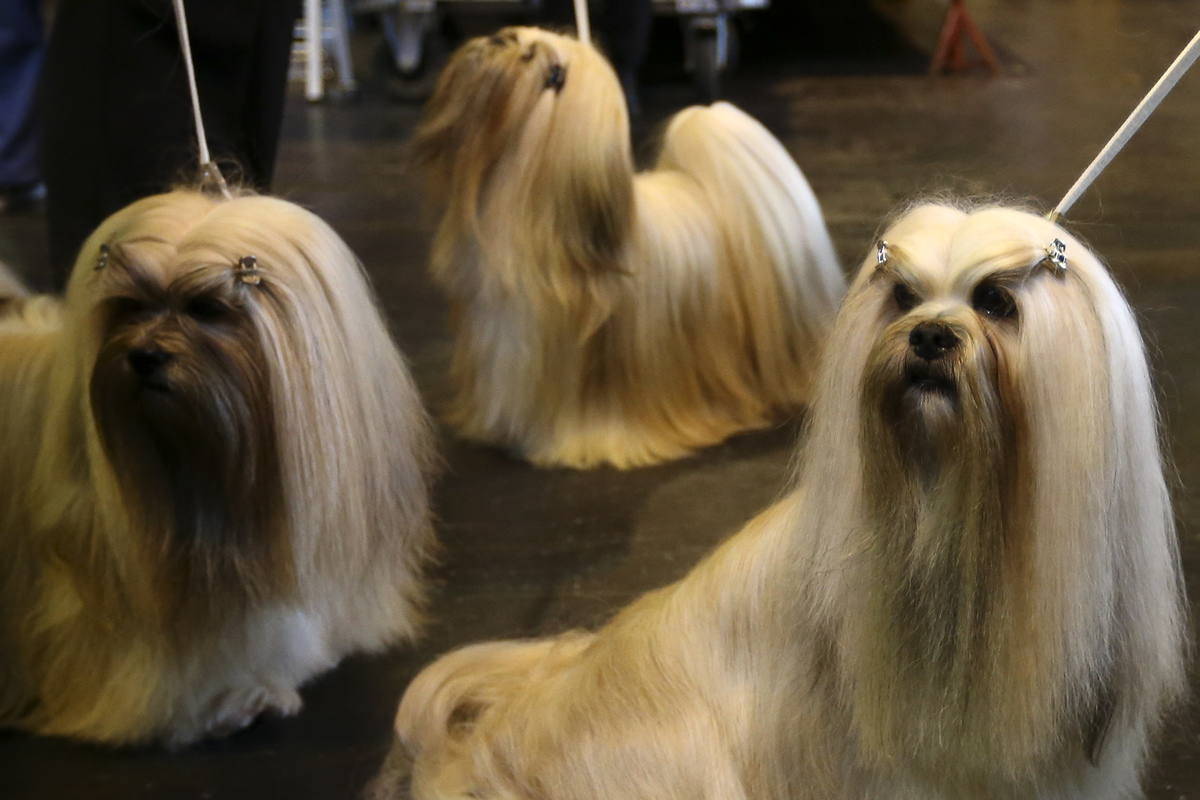 Lhasa Apso's are pictured on the first day of Crufts dog show at the National Exhibition Centre on March 5, 2015 in Birmingham, England.