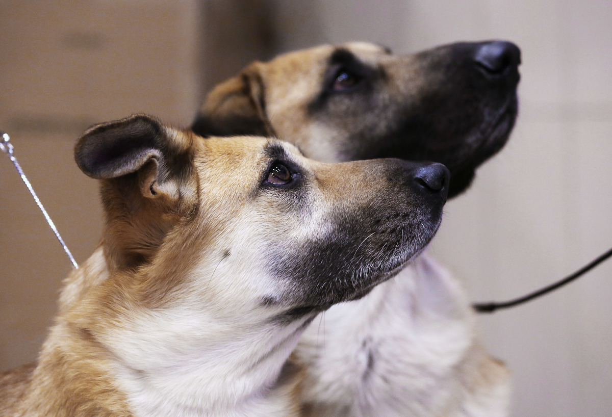 Chinooks watch their owners during a media event ahead of the 138th Westminster Kennel Club Dog Show on February 6, 2014 at Madison Square Garden in New York City.