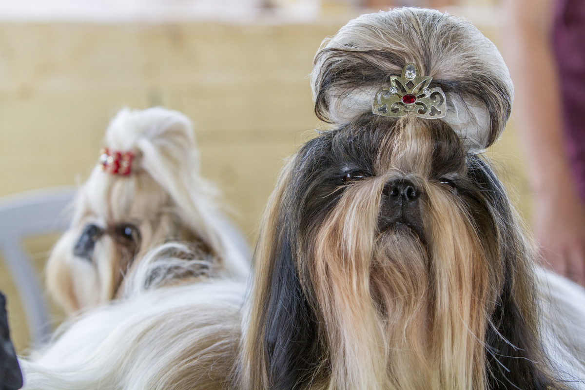 A dog of a Shih Tzu breed is waiting for it's turn to compette in an International dog show that was organized by The Israeli Kennel Club in the town of Tel Mond.