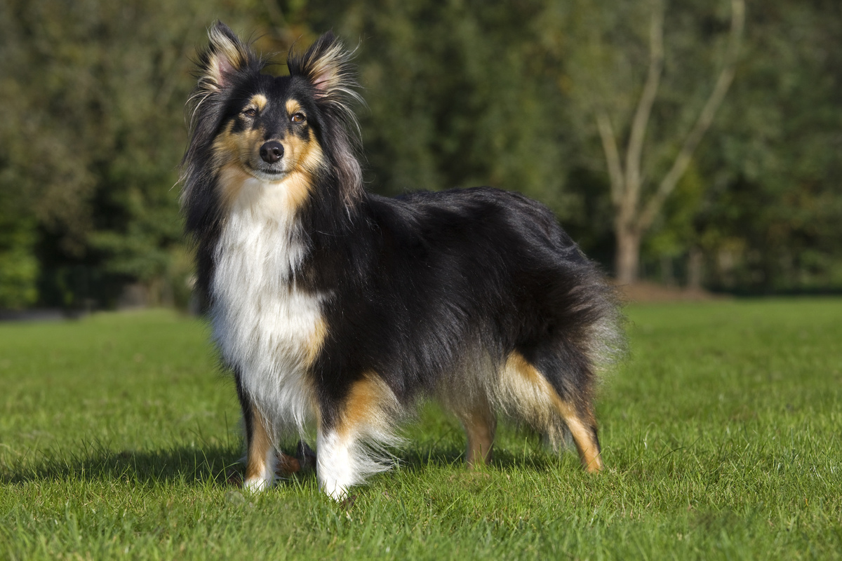 Shetland Sheepdog / collie / Sheltie (Canis lupus familiaris) in garden.