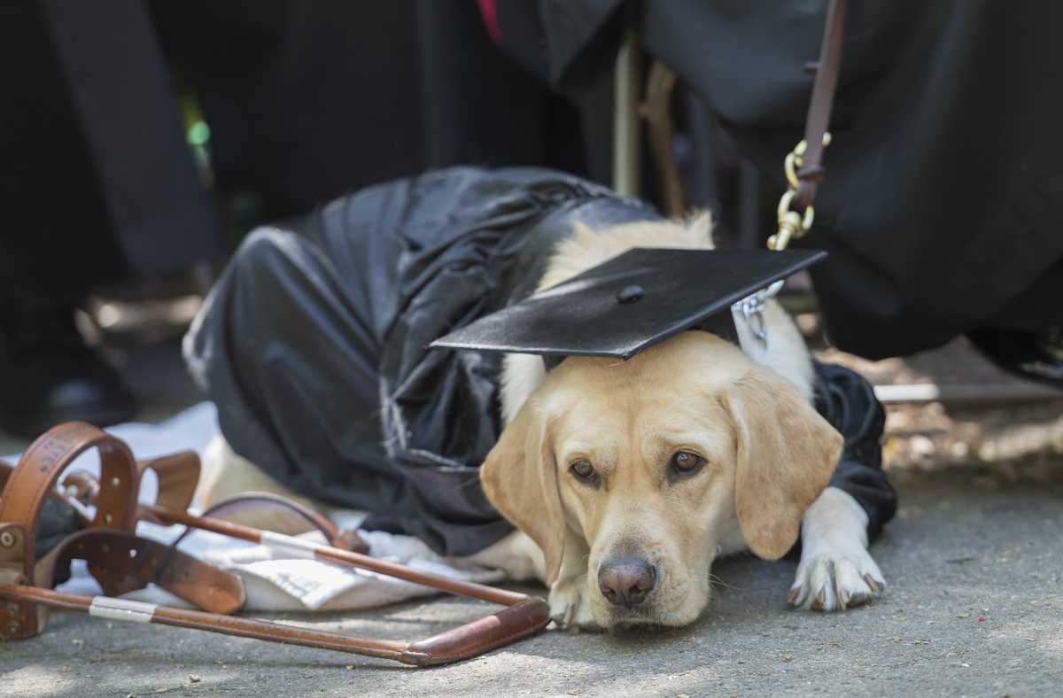 dog graduation harvard, dog wears cap and gown