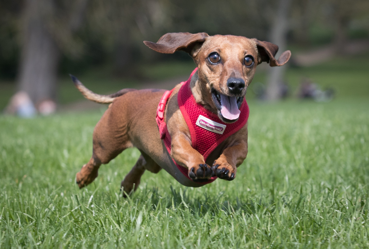 Scampi chases her ball as more than 100 dachshunds and their owners, members of the Sausage Dog Club Bath, gather in front of the historic Royal Crescent in Bath's Royal Victoria Park on April 2, 2017 in Bath, England.