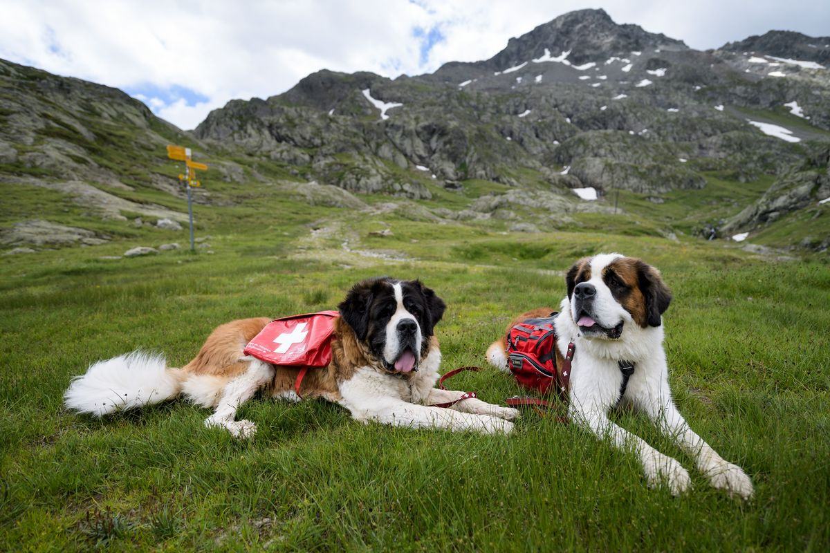 Two Saint Bernard dogs rest on a meadow as they make their way to the Great Saint Bernard mountain pass, near Bourg-Saint-Pierre, between Switzerland and Italy, on July 14, 2017.
