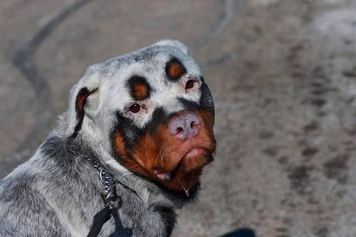 a dog with vitiligo