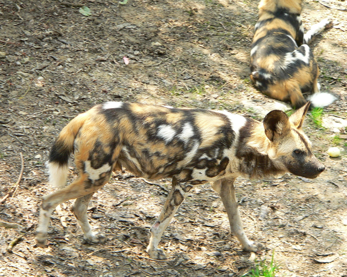 african wild dogs have unique fur.