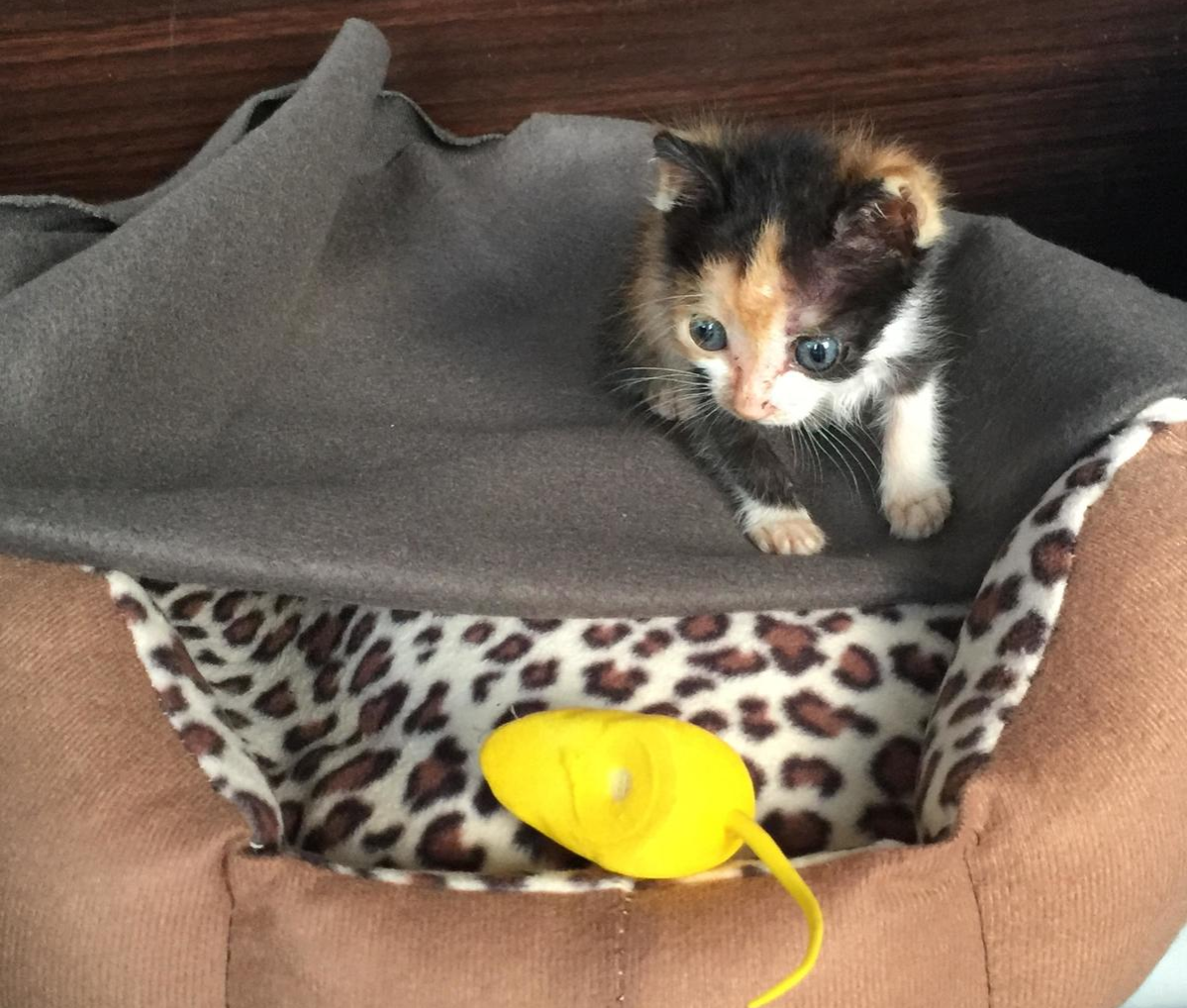 Sansa calico runt in her bed