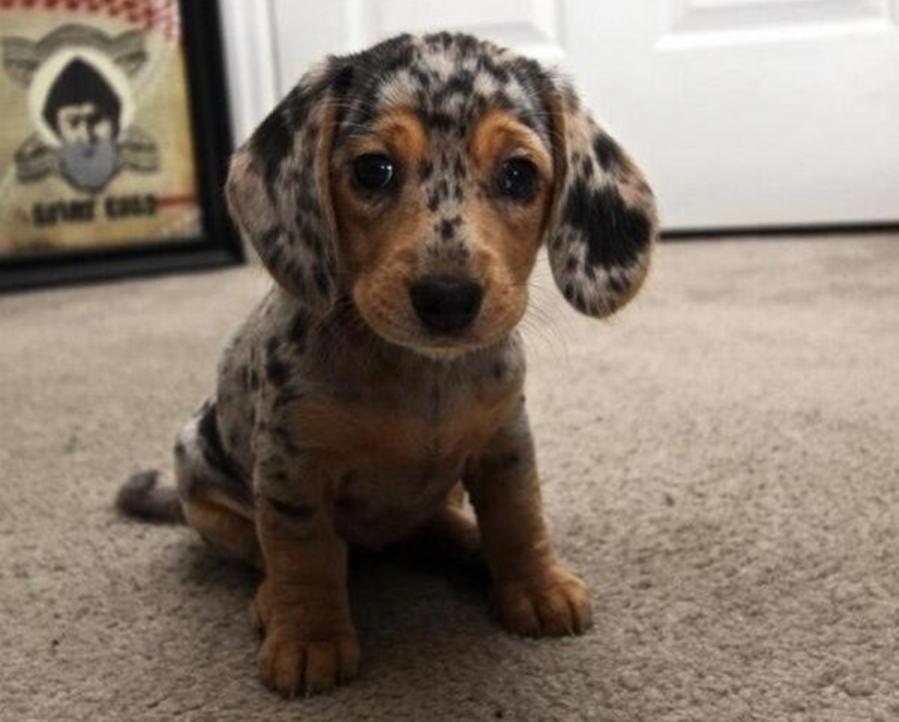 a dapple dachshund puppy.