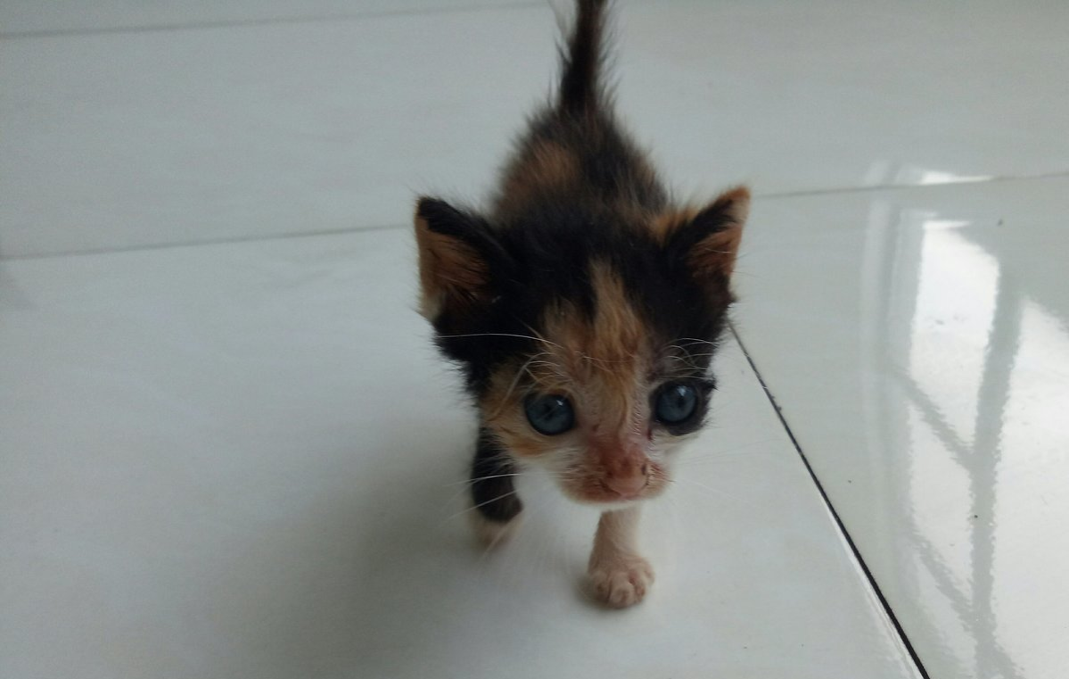 abandoned calico kitten runt