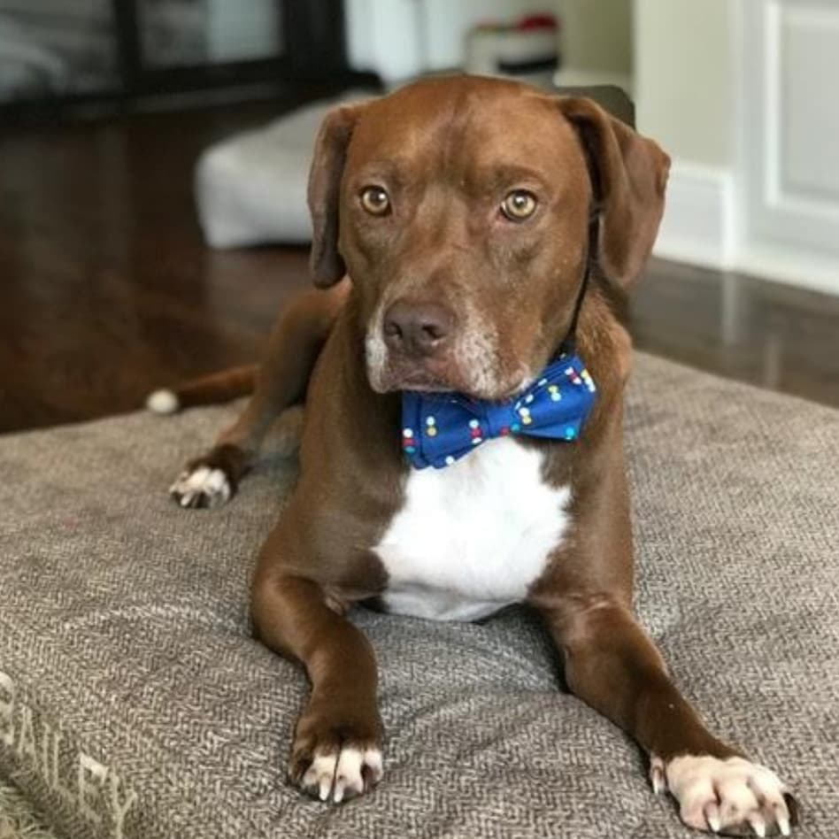 beaux and paws dog with bowtie