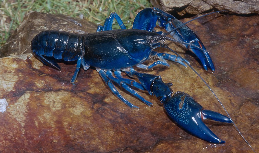 blue lobster on rock grass alive