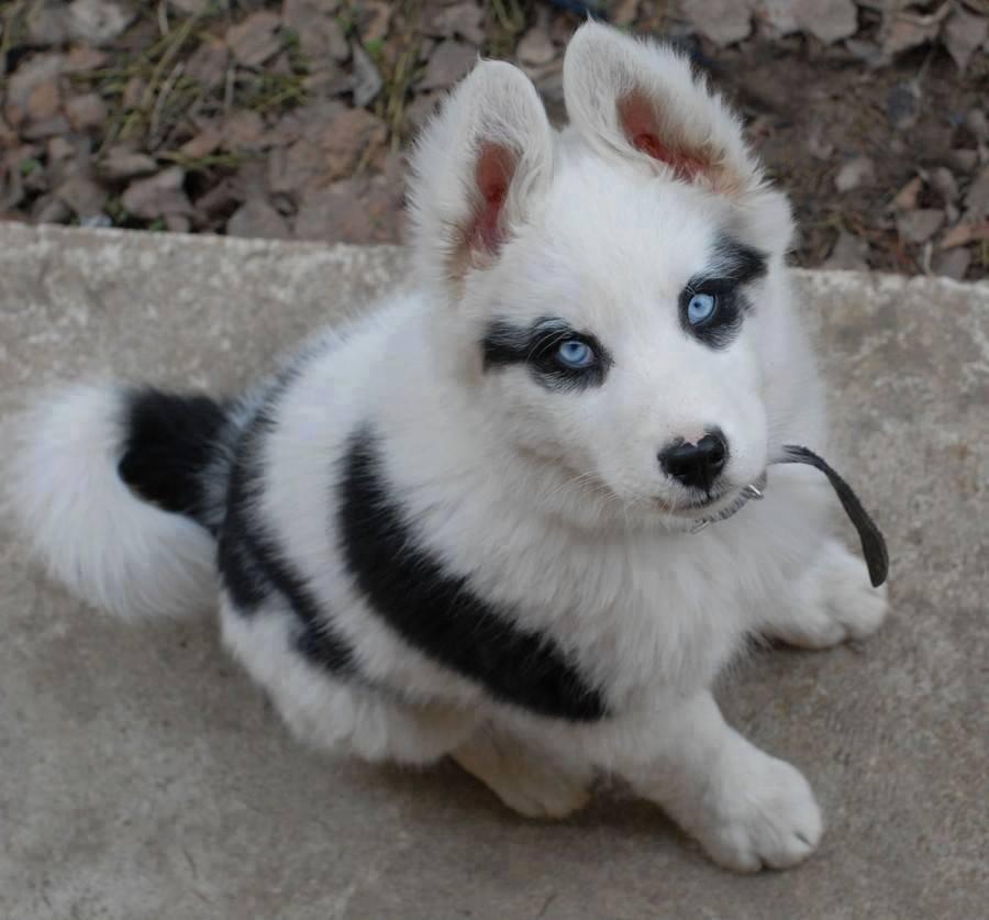a husky with black spots.