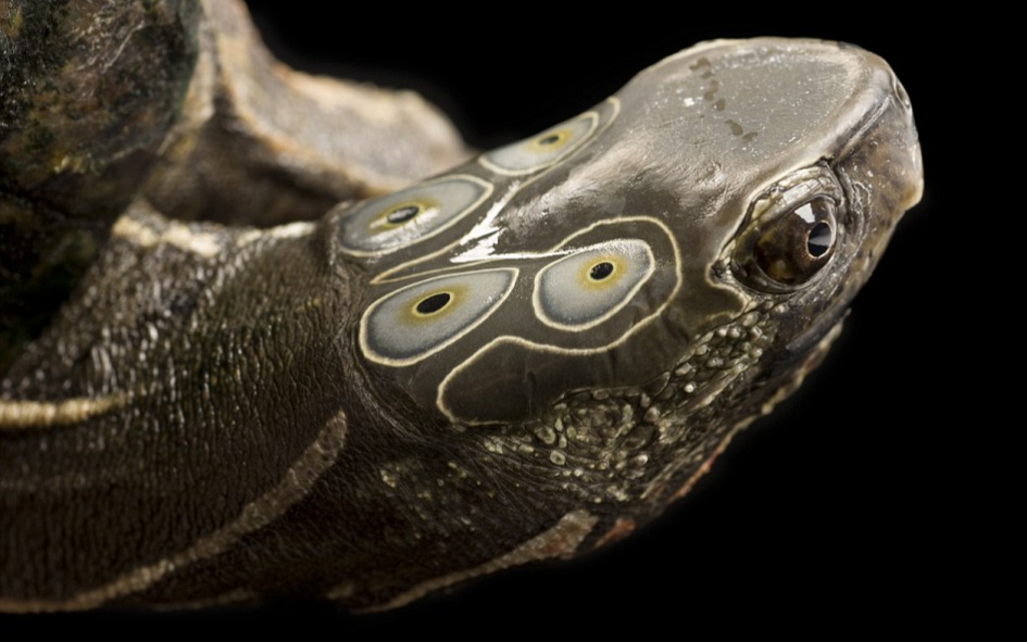 four eyed turtle brown black background