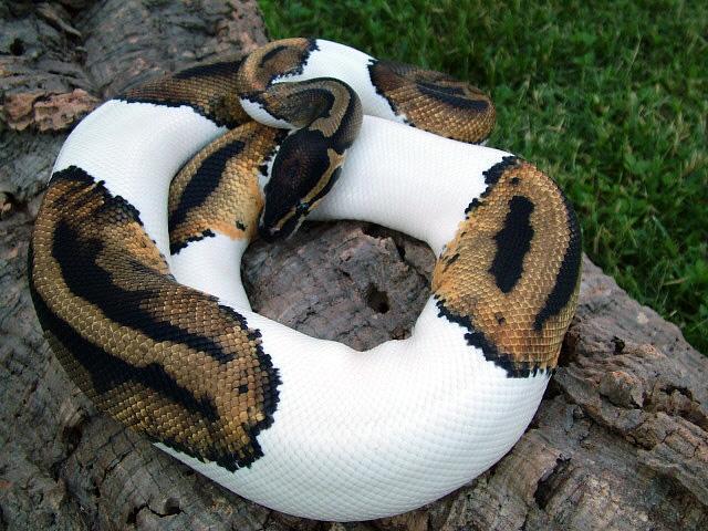 piebald python spots white brown