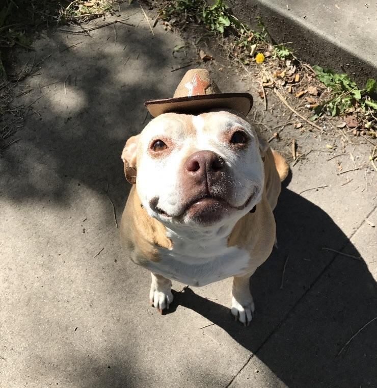 pittie with a hat smiling