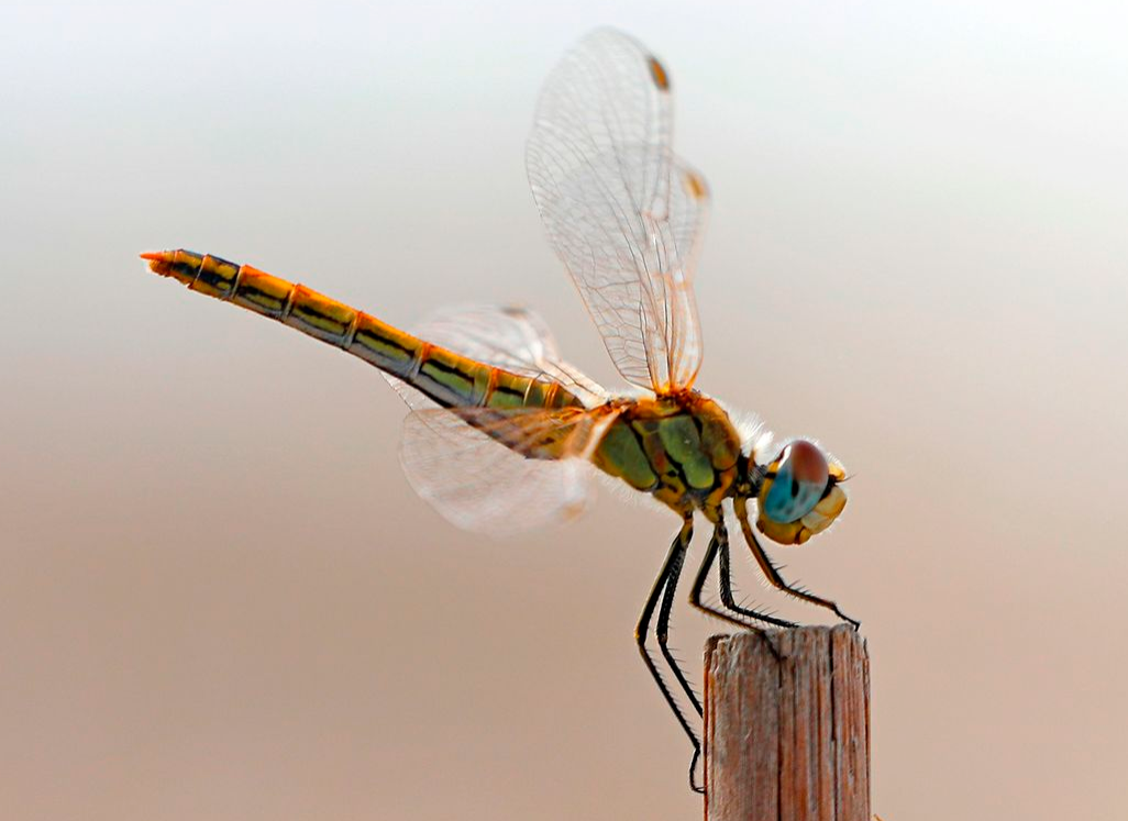 A Southern Darter dragonfly is pictured in the Israeli Mediterranean coastal city of Netanya.