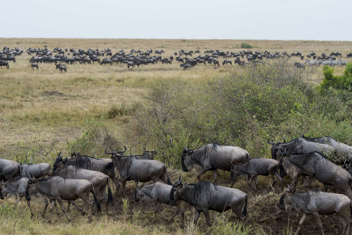 Wildebeests, also called gnus or wildebai, migrating through the grasslands towards the Mara River in Kenya