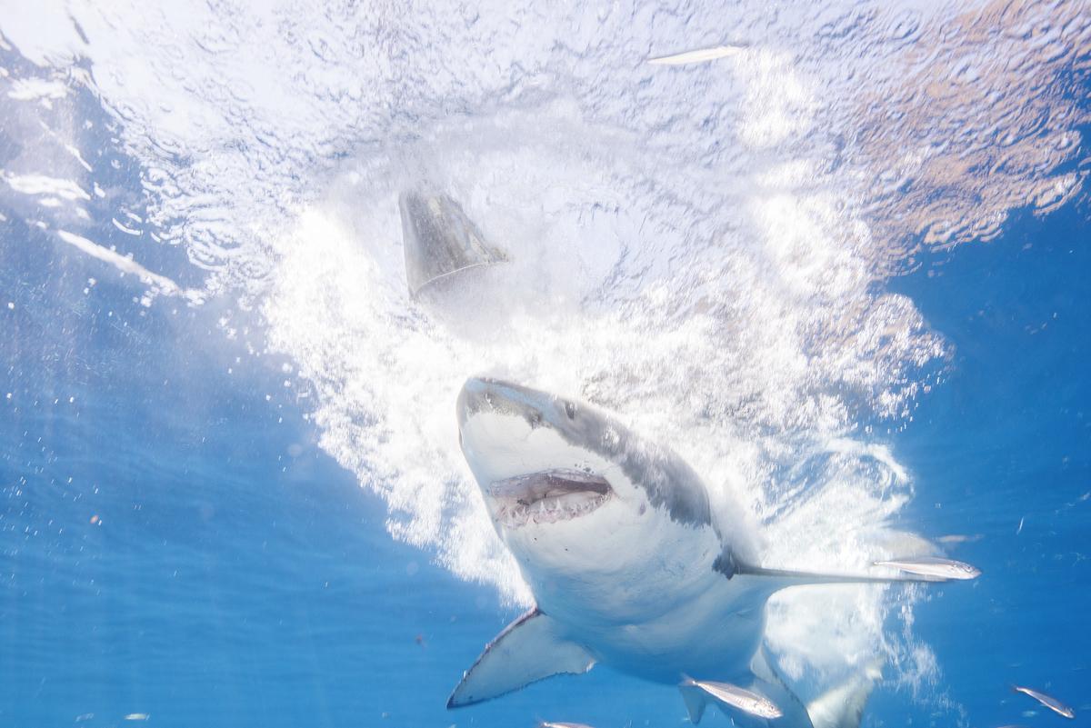 Great White Sharks seasonally gather off the coast of Guadalupe Island