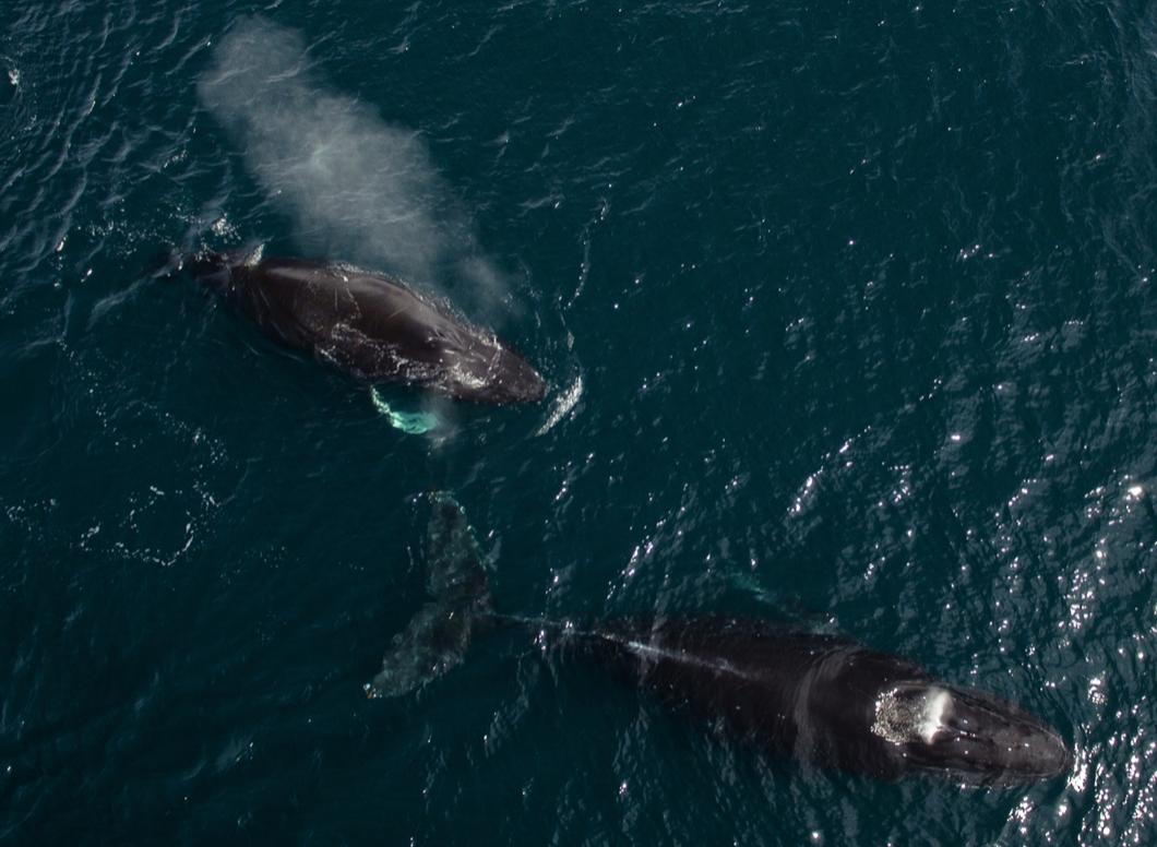 Humpback whales seen in the Avachinskaya Gulf near the Kamchatka Peninsula